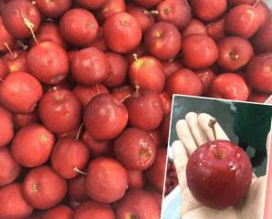 日本青森紅甜櫻桃小蘋果,限時3.9折,今日結帳再享加碼折扣